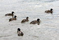 Wild ducks in nature. Flock of wild ducks on the pond royalty free stock photo