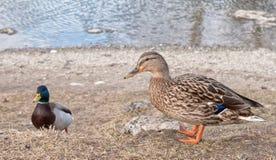 Wild ducks near lake Royalty Free Stock Image