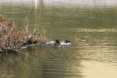 Wild Ducks Nesting on Artificial Floating Island Royalty Free Stock Photo