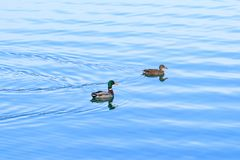 Wild ducks on the lake. Wild ducks ostentation in the water Stock Photography