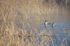 Wild ducks. A pair of mallard& x28;Scientific name: Anas platyrhynchos& x29; are foraging in winter reed marshes Stock Photo