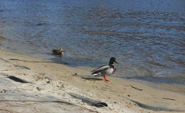 Wild ducks Royalty Free Stock Images