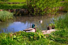 Wild ducks in a pond Royalty Free Stock Photo