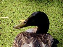 Wild ducks on a pond Stock Photography