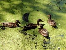 Wild ducks on a pond Royalty Free Stock Photo
