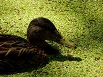Wild ducks on a pond Stock Photo