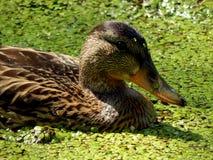 Wild ducks on a pond Stock Image