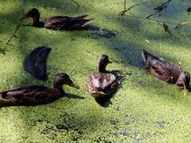 Wild ducks on a pond Royalty Free Stock Image