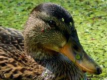 Wild ducks on a pond Royalty Free Stock Photos