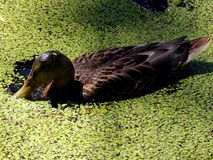 Wild ducks on a pond Royalty Free Stock Photography