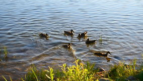 Wild ducks in the pond stock footage