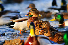 Wild ducks in the pond. Flock of wild ducks in the pond Stock Image