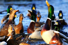 Wild ducks in the pond. Flock of wild ducks in the pond Stock Photos