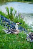 Wild ducks at the pond. A flock of wild ducks at the pond.family of wild ducks in the grass Royalty Free Stock Photo