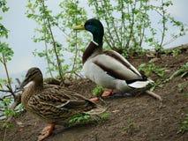 Wild ducks at the pond Stock Photos