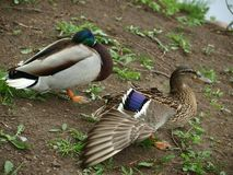 Wild ducks at the pond. Northern Bohemia royalty free stock photo