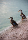 Wild ducks at the pond Stock Photography