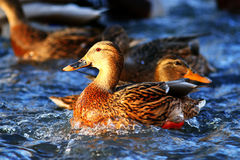 Wild ducks. In pond water Stock Image