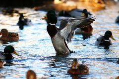 Wild ducks. In pond water Stock Images