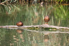 Wild ducks resting on a log Royalty Free Stock Image