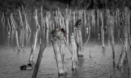 Wild ducks. Resting on wooden poles Stock Image