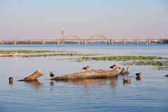 Wild ducks on the river Stock Photography