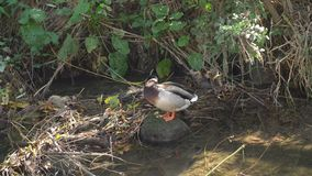 Wild ducks on the river. On a background bushes stock footage