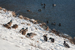 Wild ducks on the river bank in the snow. Wild ducks on the river bank of the River Morava in Litovel, Czech Republic in the snow Stock Images