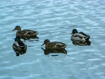 Wild ducks on the river. Stock Photo