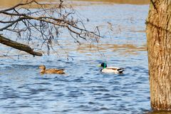 Wild ducks sail along the river in high water on a sunny spring day Stock Photos