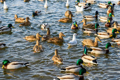 Wild Ducks And Seagulls In Winter Royalty Free Stock Photo