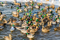 Wild Ducks And Seagulls In Winter Stock Photography