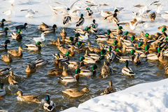 Wild Ducks And Seagulls In Winter Stock Photos