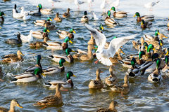 Wild Ducks And Seagulls In Winter Royalty Free Stock Images