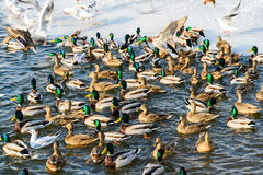 Wild Ducks And Seagulls In Winter Stock Photo