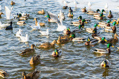 Wild Ducks And Seagulls In Winter Stock Images