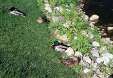 Wild ducks on the shore of a pond. Stock Photo