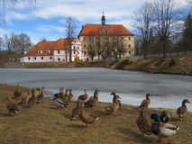 Wild ducks on the shore of a pond near the castle. Beautiful castle, frozen pond and colorful wild ducks at the end of winter Stock Images