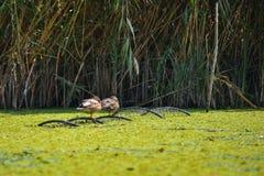 Wild ducks sitting on fishing net in the Danube Delta, Romania Stock Image