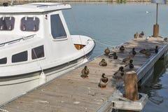 Wild ducks sitting on wooden pier. Lake Balaton, Hungary. Royalty Free Stock Photos