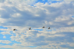Wild ducks in the sky over Peterhof, St. Petersburg, Russia. Wild ducks over Peterhof, St. Petersburg, Russia Royalty Free Stock Photography