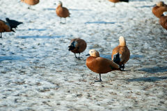 Wild ducks on the snow near the lake shore Royalty Free Stock Photography