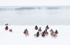 Wild ducks in snow storm. Wild ducks nesting in snow looking for cover for the snow storm in idaho Stock Photography