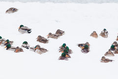 Wild ducks in snow storm Royalty Free Stock Photos