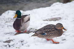 Wild ducks on a snow Royalty Free Stock Photography