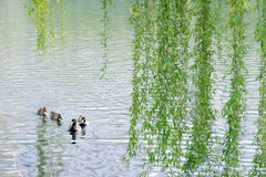 Wild ducks in spring royalty free stock images