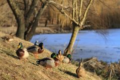 Wild ducks on a sunny winter day on the shore stock photography
