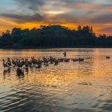 Wild Ducks and Sunset II. Wild ducks and sunset at Putrajaya Wetland, Malaysia Royalty Free Stock Photography