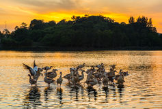 Wild Ducks and Sunset III Royalty Free Stock Photos