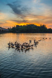 Wild Ducks and Sunset IV Stock Image